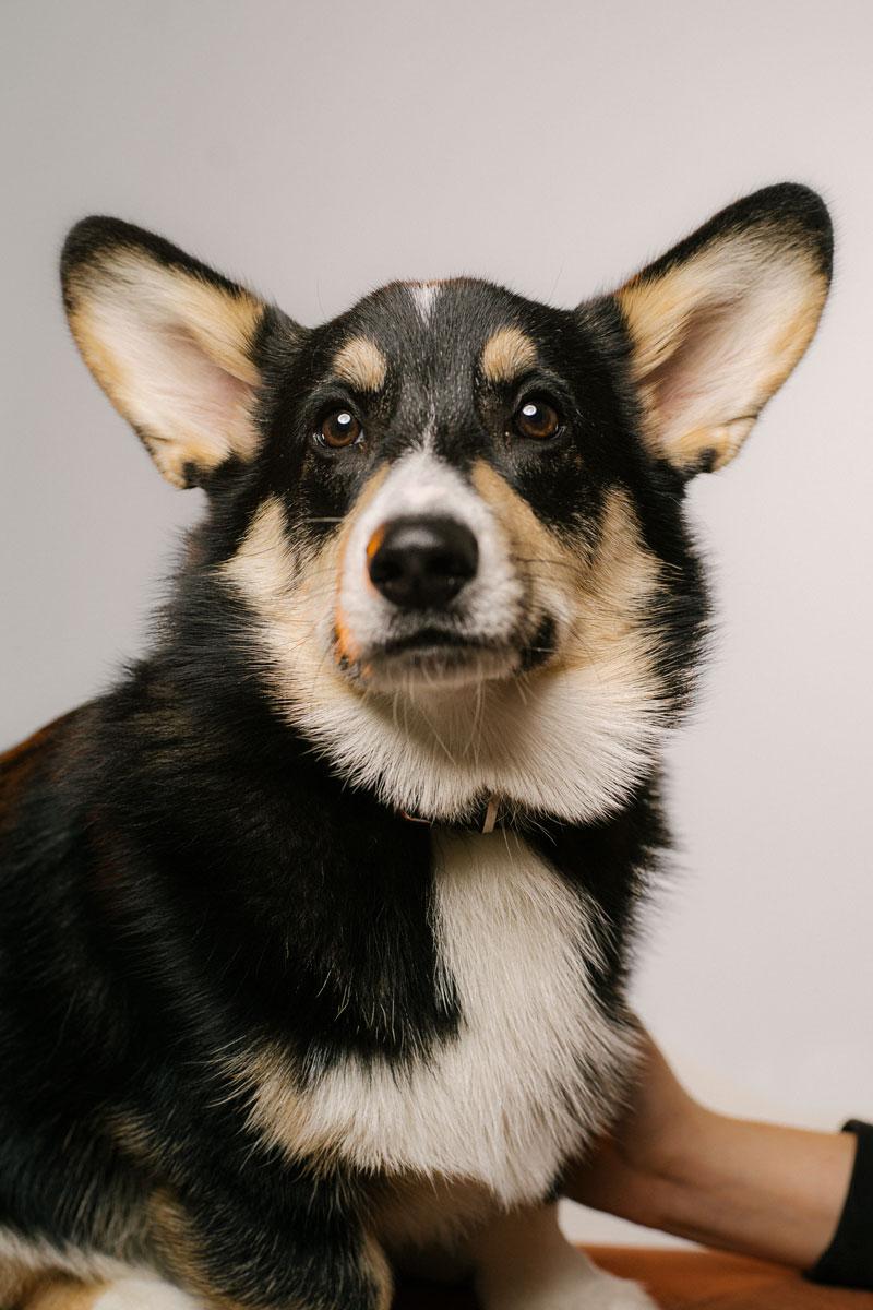 Corgi Hunde portrait